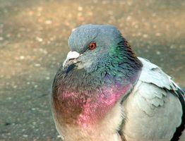 Pigeon Criadores y las Enfermedades Respiratorias