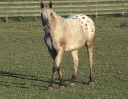 Cómo identificar las razas de caballos