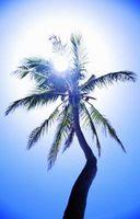 Cómo extraer el aceite de palma africana una