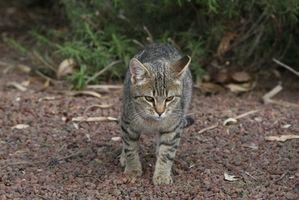 Como un gato en cuarentena para detectar la rabia