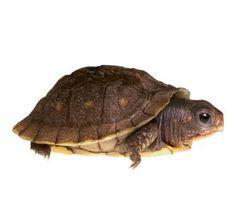 Cómo cuidar de los huevos de las tortugas rusas
