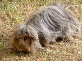 Picazón en la piel de los conejillos de Indias