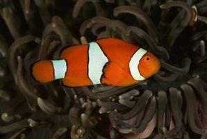Cómo hacer que los bebés sobreviven Clownfish
