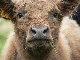 Cómo saber la diferencia entre una vaca becerro macho y un ternero Mujer