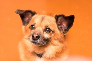 Cómo limpiar la acumulación de cera de los oídos exterior sobre un canino Con los ácaros del oído