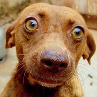 La cirugía de la parótida de ojos para perros