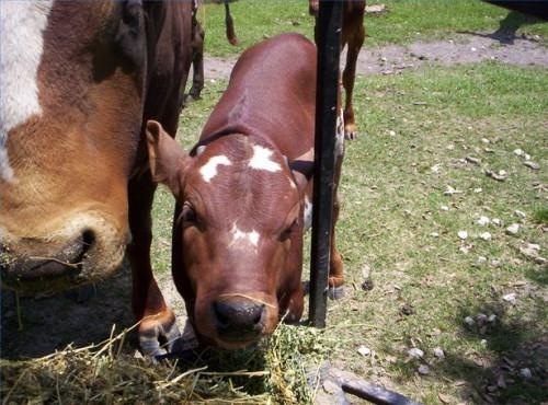 Cómo criar un becerro de la carne de vaca Huérfano