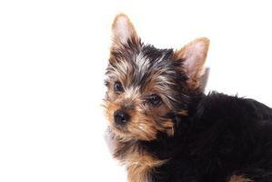 Alimentos para perros para un cachorro Yorkie
