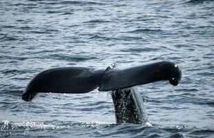 Lista en Peligro de mamíferos marinos