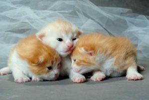 Curas para gatitos recién nacidos con pus en los ojos