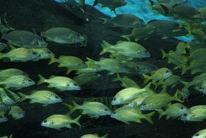 Pescado y los parásitos intestinales