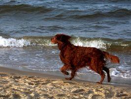 Los síntomas de parásitos caninos