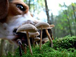 Beagles como búsqueda y rescate perros