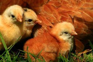 Cómo tratar los pollos del bebé con el resfriado común