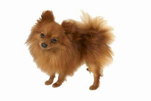 Pomeranios son chinos perros?