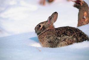 Lo que alimentar a los conejos en el salvaje durante el invierno
