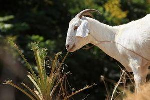 Cómo mantener a las garrapatas fuera de las cabras Boer