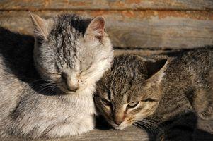 Cómo tratar un gato con gusanos del estómago