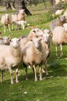 Diferencias entre corderos y ovejas