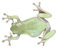 Las similitudes entre las ranas y conejos