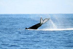 La ballena jorobada Tours en Hawaii