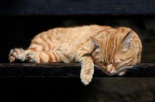 Remedios caseros para la artritis alivio del dolor en los gatos