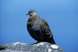 Razas de la paloma común