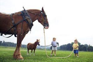 Cómo entrenar a un caballo belga