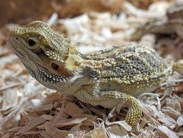 Cómo saber la diferencia entre masculino y femenino de los lagartos