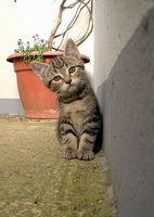 Tratamiento terramicina para los felinos