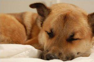 Efectos secundarios de la prednisona en los caninos