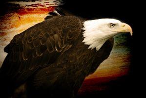 Partes del cuerpo de un águila