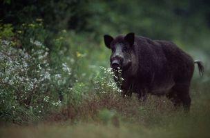 Dieta para cerdos salvajes
