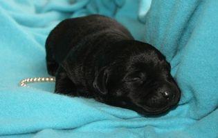 Cómo determinar la edad de los cachorros recién nacidos