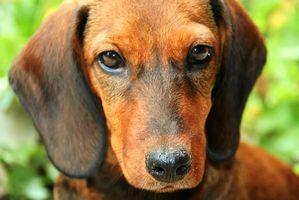 Las alergias del perro común que causa la pérdida del cabello