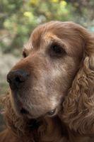 Herramientas para los oídos para perros con paspartú