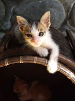 Control de pulgas de los gatos que son gatitos de enfermería