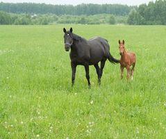 Es una hernia umbilical común en caballos-Bred canadienses?