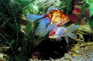 Cómo poner Goldfish y pescados tropicales Juntos en un acuario