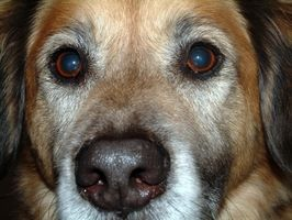 Nublado de ojos en los perros
