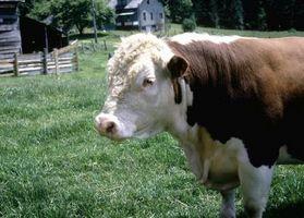 Cómo alimentar a los cacahuetes en Cattle