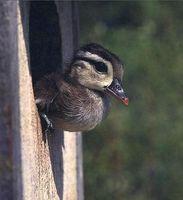 Cómo hacer un nido para mi pato