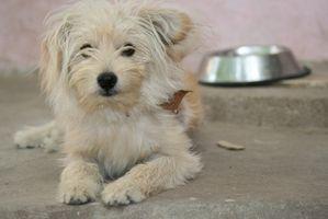 Cómo quitar las manchas de los ojos perros blancos