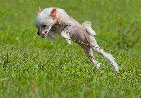 Historia de los perros chinos con cresta