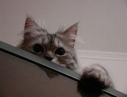 ¿Cuáles son las causas de la infección del tracto urinario en Cat?