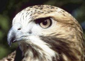 El sistema respiratorio de las aves de presa