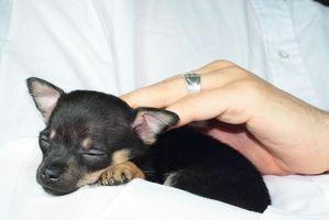 Cómo cuidar de los cachorros Teacup Chihuahua