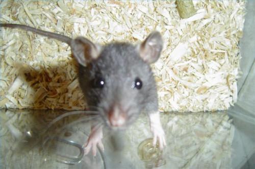Cómo entrenar a ratas como mascotas