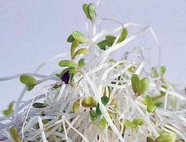¿Cómo hacer crecer los brotes en los tarros de cristal