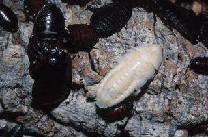 Cómo criar larvas del escarabajo